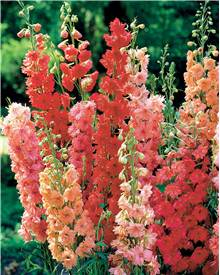 3 Delphiniums rouges en mélange
