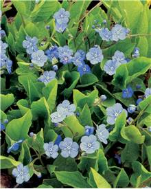 Omphalodes Blue eyes