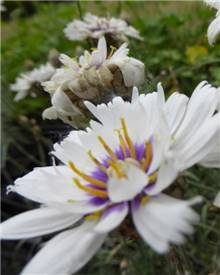 Catananche blanche Cupidone blanche