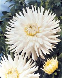 3 Dahlias cactus nains 'White Happiness'