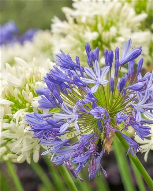 3 Agapanthes bleues