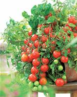 Collection 15 plants de tomates (5 tomate-cerise +5 fruits ronds +5 gros fruits)