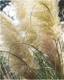 gramin e achat vente cortaderia imperata carex panicum muhlenbergia stipa. Black Bedroom Furniture Sets. Home Design Ideas