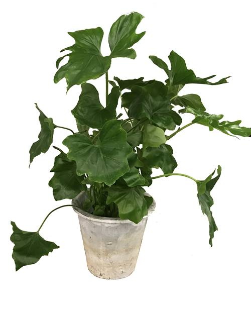 Philodendron Seloum Hope + cache pot blanc 22 cm.