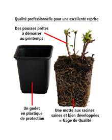 3 Fuchsias retombants Dark Eyes