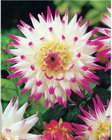 3 Dahlias cactus 'Haley Jane'