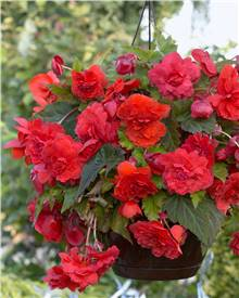 5 Bégonias parfumés 'Red Glory'