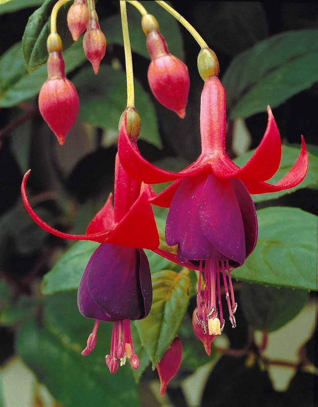 3 fuchsias r sistants au gel brilliant plantes vivaces pour le jardin. Black Bedroom Furniture Sets. Home Design Ideas