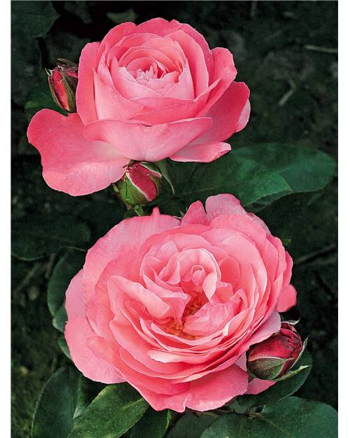 Rosier buisson 'Pink Panther'® Meicapinal
