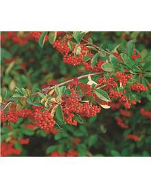Cotoneaster franchetii EXTRA
