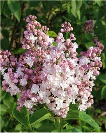 Lilas 'Beauty of Moscow'
