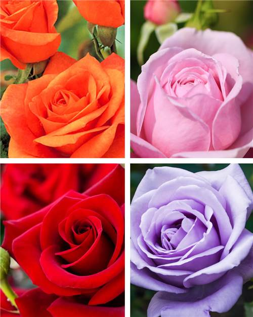 Cadeau rosier orange +rose+rouge +mauve