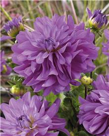 3 Dahlias Bluetiful