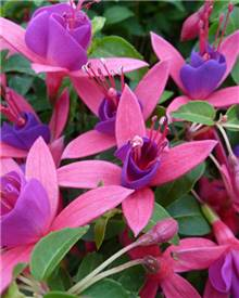 Fuchsia Tom Thumb
