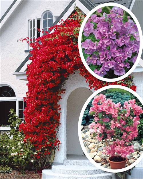 Collection de 3 Bougainvilliers (1 rose+ 1 violet + 1 rouge)