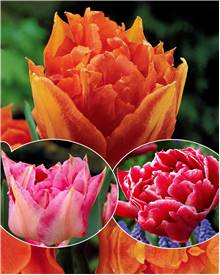 Collection de 30 tulipes doubles Murillo