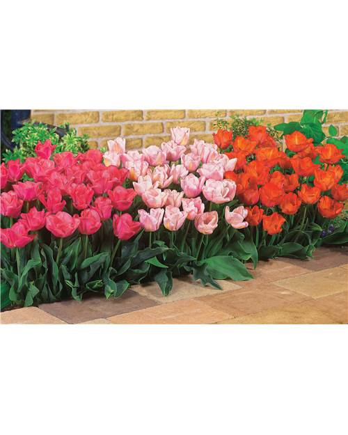 Collection de 60 Tulipes Triomphe (20 Lydia + 20 Rejoyce + 20 Jochem)