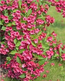Weigelia Bristol Ruby
