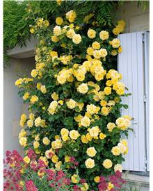 Rosier grimpant Golden Gate ® Korgolgat
