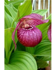 Orchidée Cypripedium macranthos