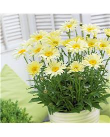 Collection de 9 Marguerites assorties