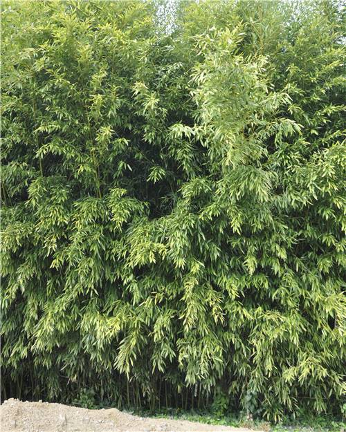 Bambou Phyllostachys bissetii 7L