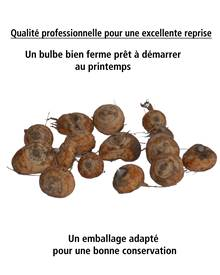 Collection de 45 Crocosmias (15 bicolores + 15 rouges + 15 jaunes)