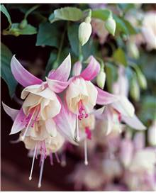 Collection 6 fuchsias vivaces Annabel, Blue Sarah, Garden news