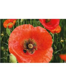 Pavot Red Corn Poppy Bio