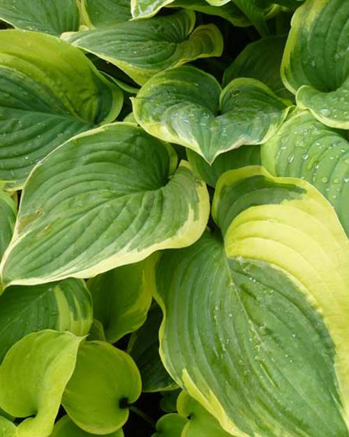 Hosta Fragrant Dream Funkia Fragrant Dream