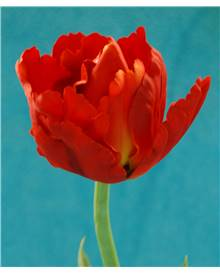 Tulipe pivoine artificielle rouge
