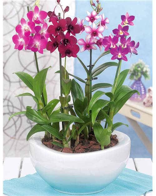 Orchidée 'Polar fire'