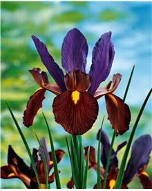 10 Iris de Hollande Tiger Eyes