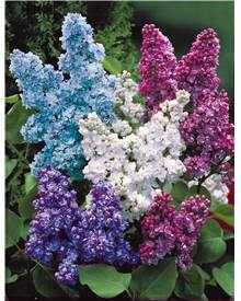 Collection de 4 lilas doubles (1 bleu +1 rouge + 1 lilas + 1 blanc)