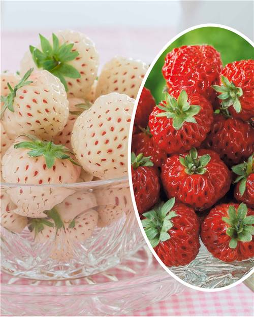Collection de 4 Fraisiers (2 Pineberry ® + 2 Framberry ®) en godets
