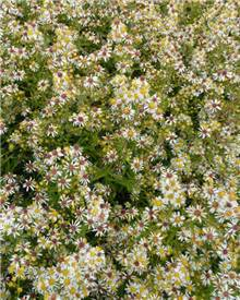 Aster éricoïde Golden Spray