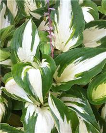 Hosta Christmas Candy Funkia Christmas Candy