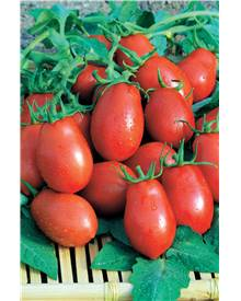 Tomate 'Roma VF'