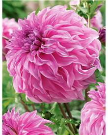 Collection de 6 Dahlias Géants ('Spartacus'+ 'Moonlight Sonata'+'Vassia Meggos')