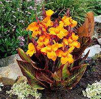 3 Mini-cannas 'Gold Ader'