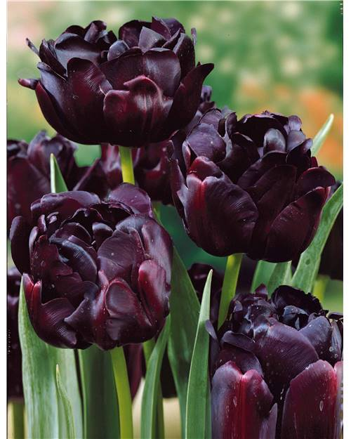 10 Tulipes à fleurs de pivoine 'Black Hero'