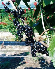 Cassissier à gros fruits 'Andega'