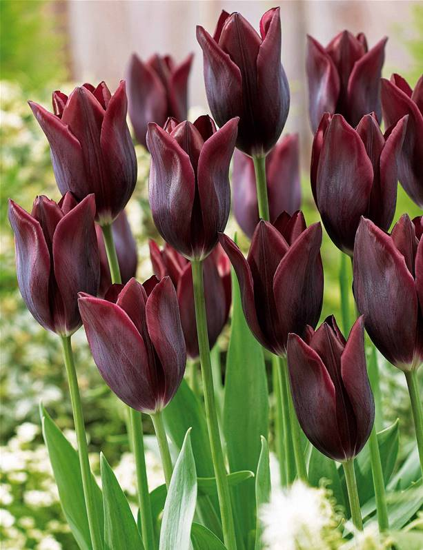 10 tulipes longues tiges 39 havran 39 willemse - Quand planter bulbes tulipes ...