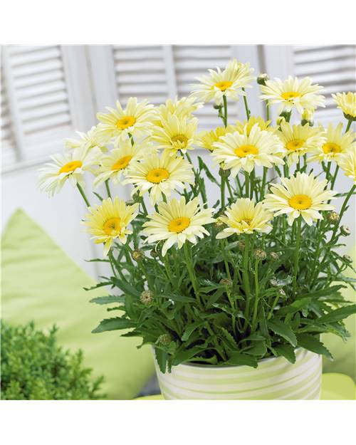 3 Marguerites 'Banana Cream'