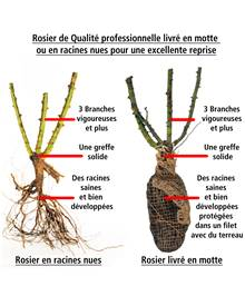 Rosier buisson Osiria