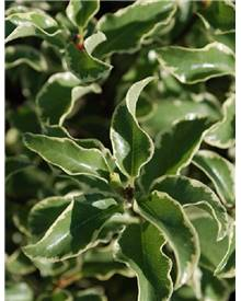Pittosporum panaché