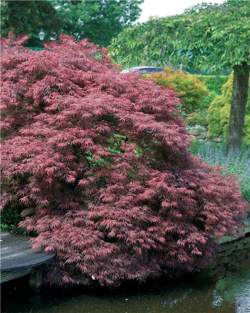 Erable du Japon Garnet