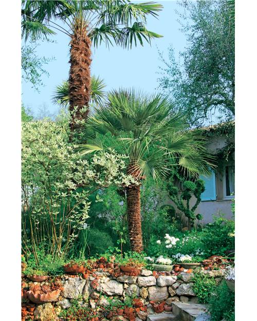 palmier nain chamaerops humilis arbuste 35 cm en pot 1 5. Black Bedroom Furniture Sets. Home Design Ideas
