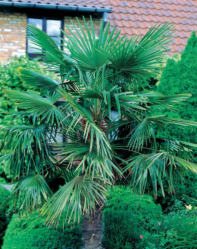 palmier nain chamaerops humilis arbuste 35 cm en pot 3 l jardin pot. Black Bedroom Furniture Sets. Home Design Ideas