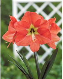Amaryllis World Range Amazing Amsterdam orange